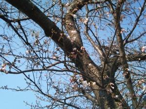 桜の木アップ映像