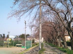 糸中グランド土手の桜