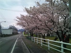 はぴねすまえの桜