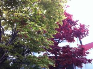 裏庭の紅葉1